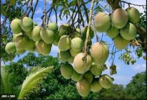 Mango Himsagar or Kshirshapat of Rajshahi